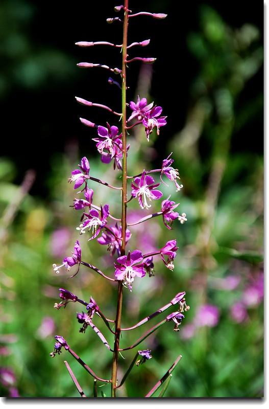 Fireweed 2
