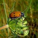 szőrösnyakú zsákosbogár - Lachnaia sexpunctata