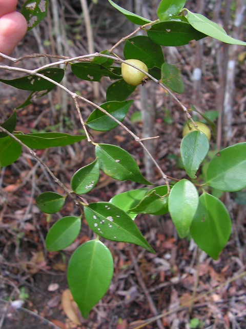 Psidium oligospermum