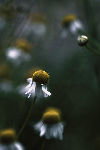 Little daisy // 26 06 14