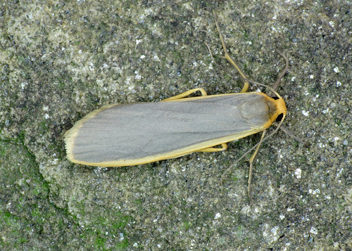 2050 Common Footman - Eilema lurideola
