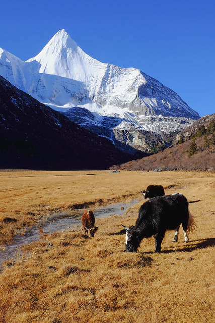 Yaks and Yangmaiyong Sacred Mountain