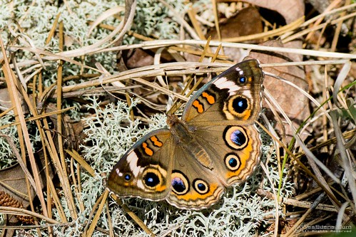butterfly sony butterflies lepidoptera buckeye nymphalidae junoniacoenia