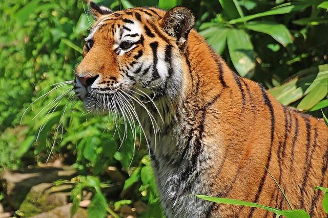 Tigerin Katinka