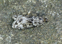 63.073 Ground-moss Grey - Eudonia truncicolella