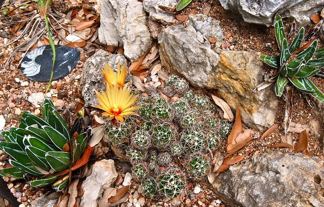 Coryphantha sulcata