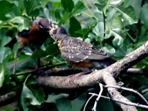 mother robin feeding a baby robin