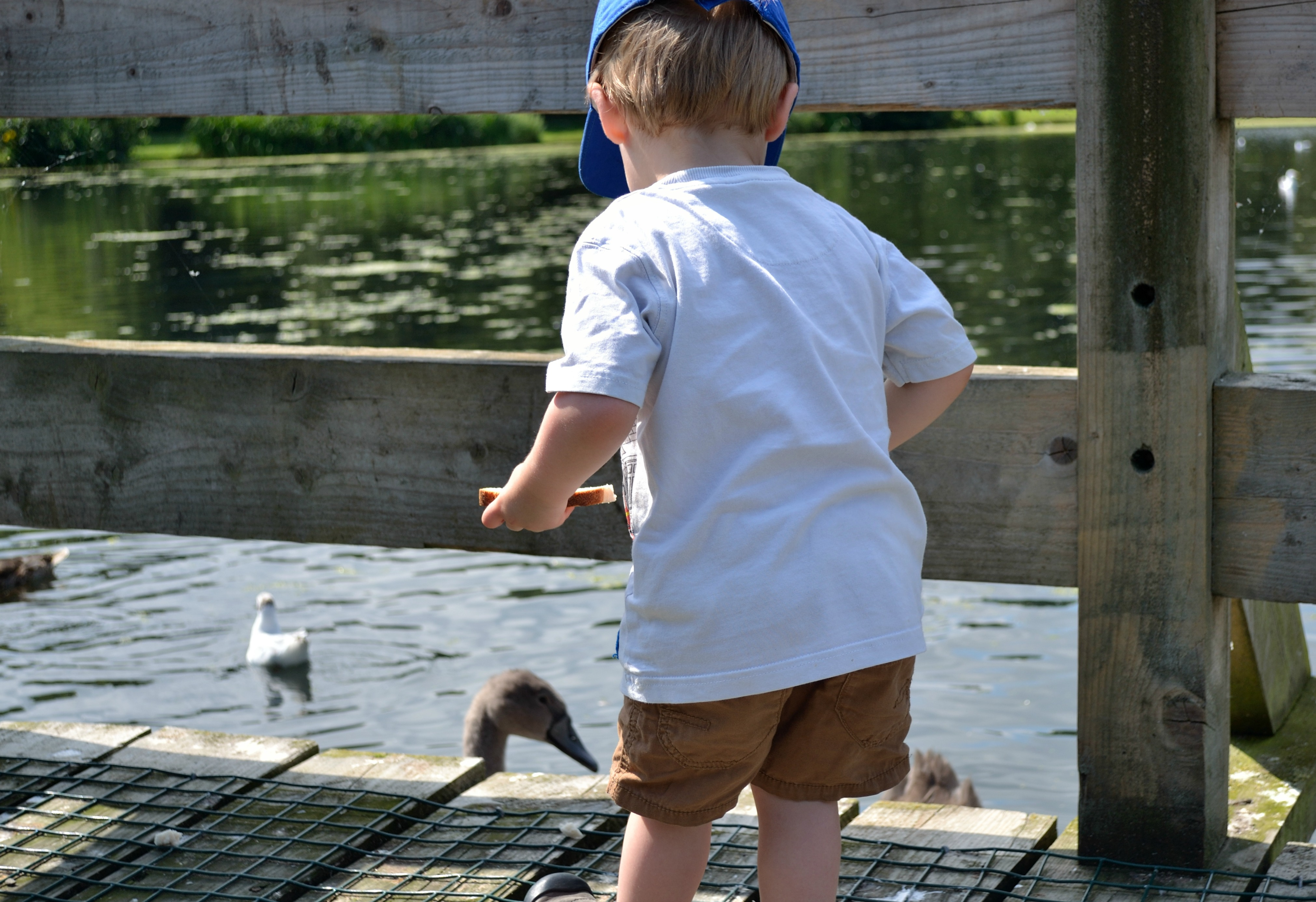 John feeding the ducks & swans at Figgate Park, Portobello.