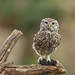 Little owl 29th