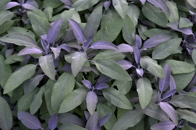 Salvia officinalis 'Purpurascens' (common sage) in the Herb Garden. Photo by Morrigan McCarthy.