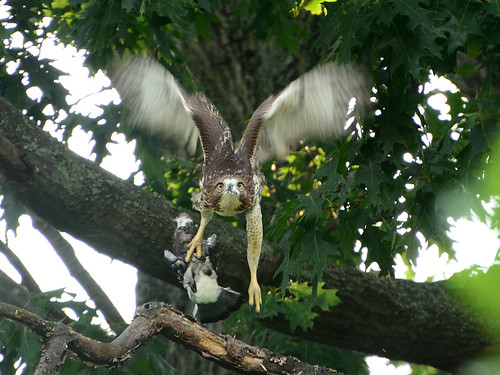 Juvenile Cathedral Hawk & Prey - 3922