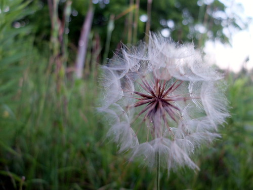 dandelion (make a wish)