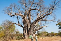 branch, tree, adansonia, rural area, savanna, safari,