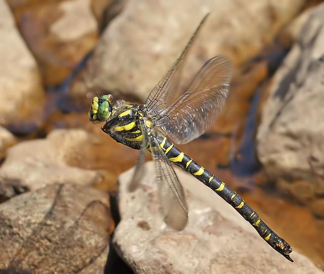 Female Golden-ringed dragonfly