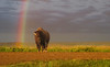 American Bison Under The Rainbow - Badlands National Park