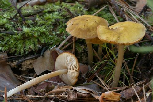 Плютей золотисто-окрашенный (Pluteus chrysophaeus) Автор фото: Татьяна Бульонкова
