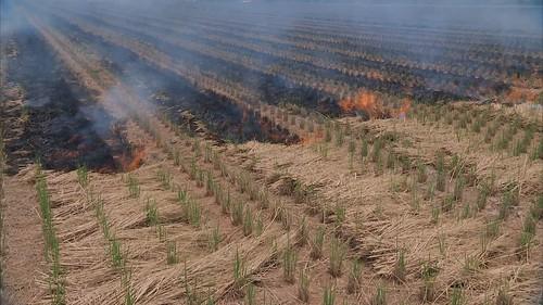 處理稻草最好的方式就是「翻耕入土」