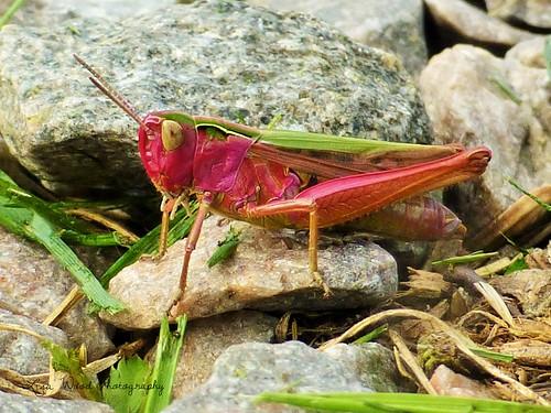 pink nature scotland wildlife grasshopper unusual rare