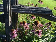 Echinaceae, Vermont
