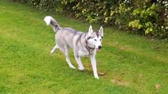 dog breed(1.0), animal(1.0), west siberian laika(1.0), akita(1.0), dog(1.0), czechoslovakian wolfdog(1.0), siberian husky(1.0), pet(1.0), east siberian laika(1.0), norwegian elkhound(1.0), kishu(1.0), wolfdog(1.0), saarloos wolfdog(1.0), jã¤mthund(1.0), alaskan malamute(1.0), sled dog(1.0), carnivoran(1.0),