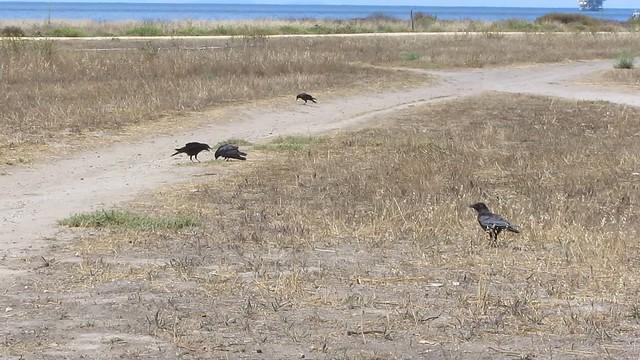 MVI_3450 crows isla vista west bluff