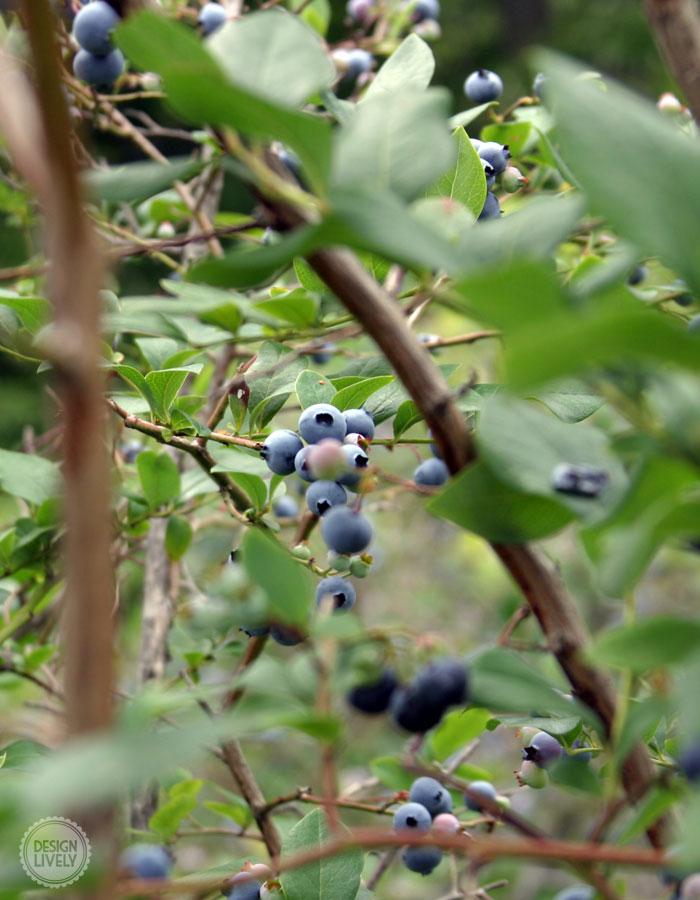 BlueberryPie5
