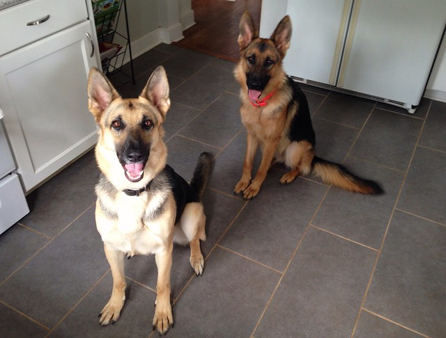 Keeping Your House Clean With Two Big Dogs Doggerel