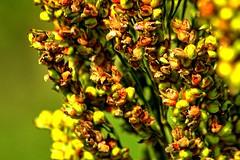 Stink bug damage on sorghum seeds