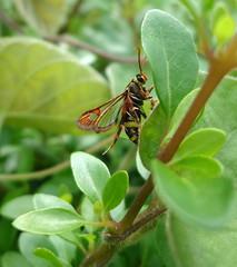 hornet moth
