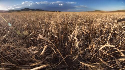 autumn nature landscape wheat mongolia sum tamir bayangol aimag selenge bayarsaikhan tamirglz