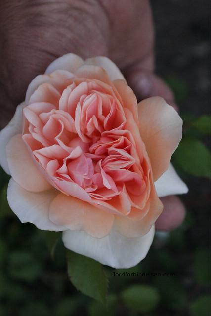 150914_rosenhoved