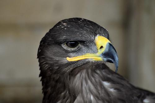 Steppe Eagle Portrait