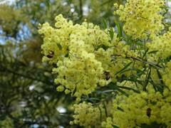 Wattle Day in Australia
