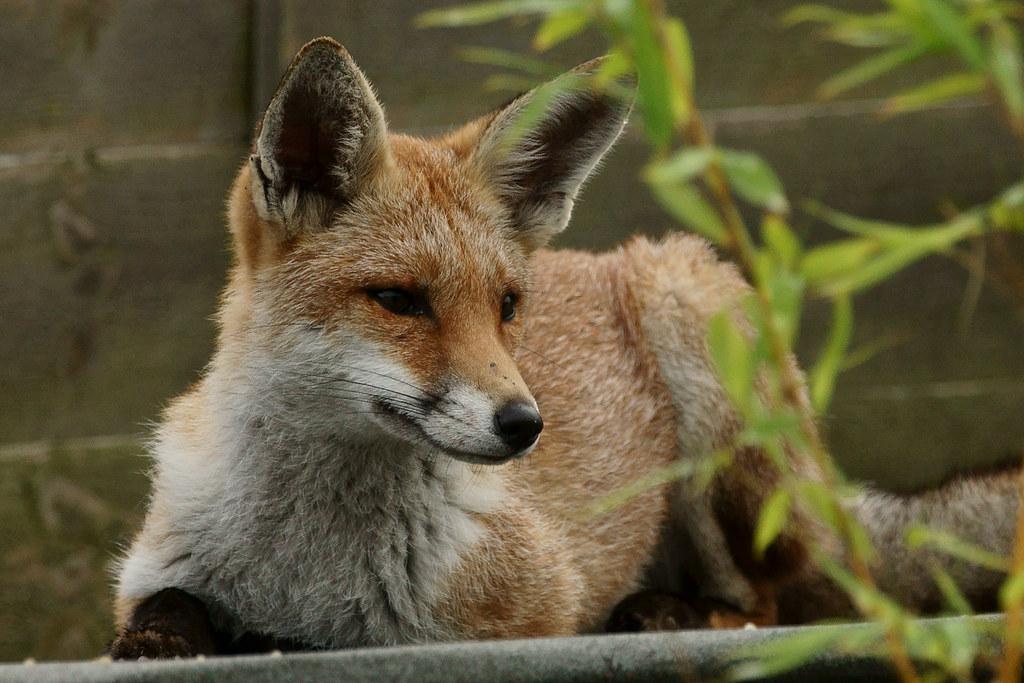 'Freda ' Fox