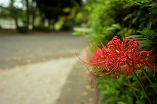 The red spider lily in commuting 2014/09 No.4.
