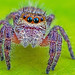 A jumping spider by Tibor Nagy