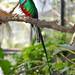 Quetzal Bird