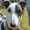 140525 Greyhound Extravaganza-0152