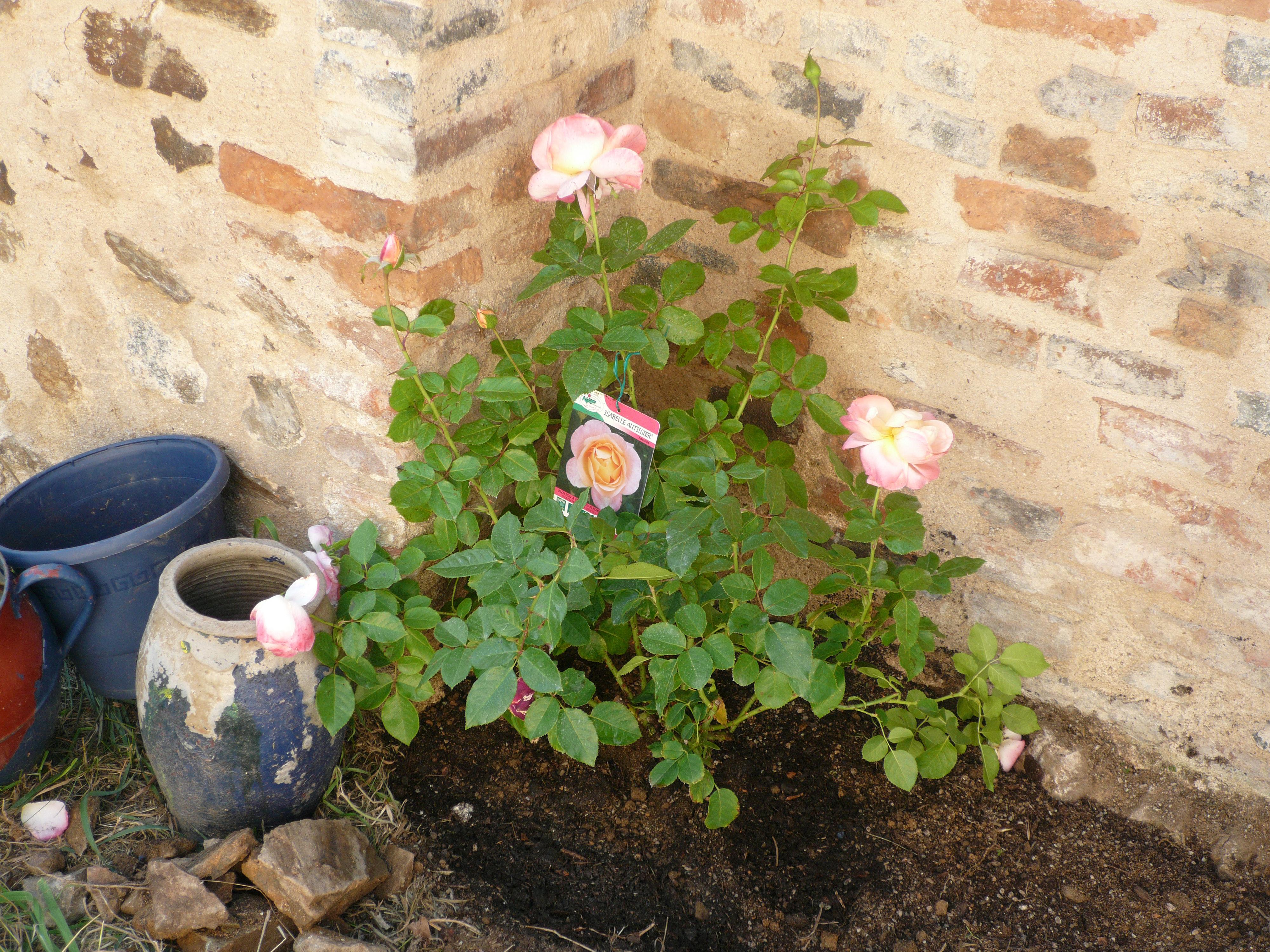 Isabelle Autissier rose