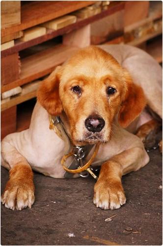「認養推」高雄大寮四隻已完成醫療的黃金獵犬~誠徵會照顧他一輩子的新家~網站另有其他也需要機會~謝謝您!20140925