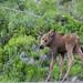 My Public Lands Roadtrip: Alaskan Wildlife