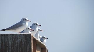 The seagull bird - Kish Islan - Hormozgan Province - Iran