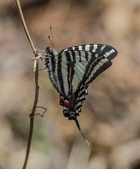 A Spring Zebra Swallowtail From The Side