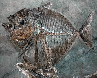 Mene rhombea (fossil fish) (Middle Eocene; Italy) 4
