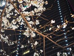 2017 Tokyo Cherry blossum