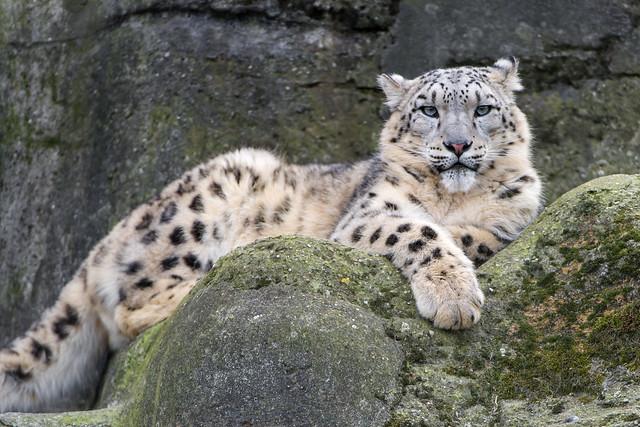 Snow leopard posing well!
