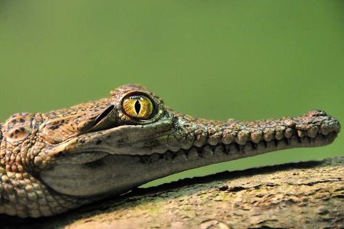 crocodylus johnsoni by Joachim S. Müller