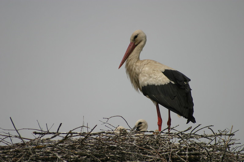 White Stork with two nestlings