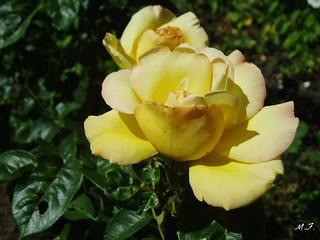 jaune2