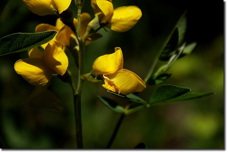Golden Banner(Mountain Golden Pea)